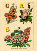 Q for Quince, R for Rose, S for Sweet William, Scabious and Stock by John Dicks