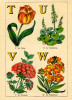 T for Tulip, U for Umbilicus, V for Verbena, W for Wallflower by John Dicks