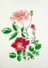 Rosa 'Auguste Gervais', Rosa 'Alexandre Girault' by Graham Stuart Thomas