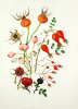 Rose Hips by Graham Stuart Thomas