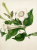 Portlandia grandiflora by Margaret Meen