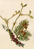 Cotoneaster microphyllus, Platycladus orientalis, Viscum album by Caroline Maria Applebee