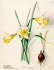 Amaryllidaceae, Narcissus by Lillian Snelling