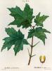 Acer saccharinum, Erable a sucré by Janinet