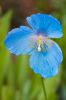 Meconopsis 'Lingholm' by Mark Bolton