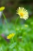 Doronicum orientale by Mark Bolton