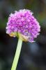 Allium giganteum by Lee Beel