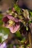Helleborus cyclophyllus by Carol Sheppard