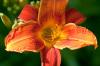 Hemerocallis 'Bright Spark' by Carol Sheppard