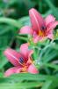 Hemerocallis 'Pink Damask' by Carol Sheppard