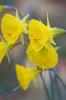 Narcissus bulbocodium subsp. praecox 'Moulay Brahim' by Carol Sheppard