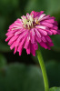 Zinnia 'Big Boy' by Carol Sheppard
