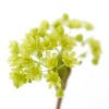 Simple Acer by Deborah Schenck