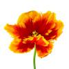 Orange Tulip by Deborah Schenck
