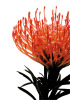 Orange Protea 1 by Jenny Kraft