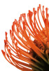 Orange Protea 4 by Jenny Kraft
