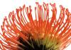 Orange Protea 2 by Jenny Kraft