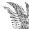 Fern I (on white) by Botanical Series