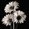 Gerber Daisies 2 by Michael Harrison