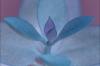 Blue Leaves by Richard Osbourne
