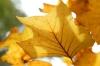 Autumn Tulip Tree Leaves by Richard Osbourne