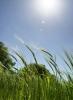 Summer Barley by Richard Osbourne