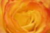Begonia II by Richard Osbourne