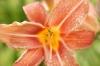 Lily I by Richard Osbourne