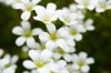 White Saxifrage I by Richard Osbourne