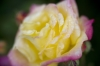 Yellow And Pink Rose by Richard Osbourne