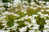 White Saxifrage II by Richard Osbourne