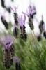 Lavender III by Richard Osbourne