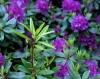 Purple Rhododendron by Richard Osbourne