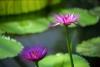 Lotus Blossom II by Richard Osbourne