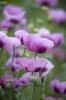 Pink Poppies V by Richard Osbourne