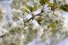 Spring Blossom III by Richard Osbourne