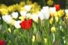 Tulips III by Richard Osbourne