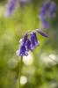 Bluebells by Richard Osbourne