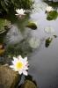 Pond With Waterlilies II by Richard Osbourne