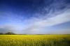 Rape Flowers - Norfolk by Richard Osbourne