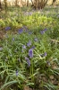 Woodland Bluebells II by Richard Osbourne