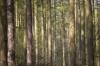 Sitka Spruce by Richard Osbourne