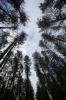 Scots Pines I by Richard Osbourne