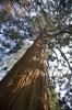 Coastal Redwood by Richard Osbourne