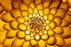 Chrysanthemum by Richard Osbourne