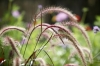 Pennisetum Grass by Richard Osbourne
