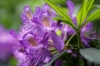 Purple Rhodedendron by Richard Osbourne