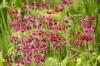 Candelabra Primulas by Richard Osbourne