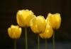 Yellow Tulips by Richard Osbourne