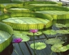 Lotus Flowers and Giant Lilypads by Richard Osbourne